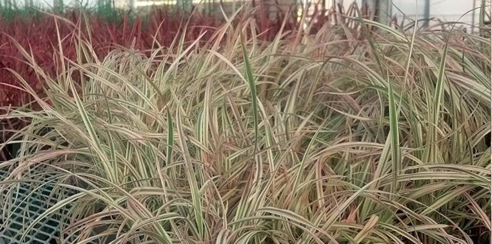 ornamental-grass.jpg