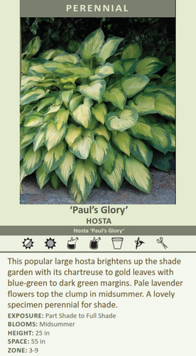 Paul's Glory HOSTA Hosta Paul's Glory This popular large hosta brightens up the shade garden with its chartreuse to gold leaves with blue-green to dark green margins. Pale lavender  specimen perennial for shade.   EXPOSURE: Part Shade to Full Shade BLOOMS: Midsummer HEIGHT: 25 in SPACE: 55 in ZONE: 3-9