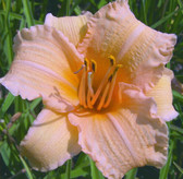 Hemerocallis LOUISE MANELLIS