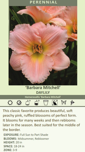 'Barbara Mitchell' DAYLILY Hemerocallis 'Barbara Mitchell' This classic favorite produces beautiful, soft peachy pink, ruffled blossoms of perfect form. It blooms for many weeks and then reblooms later in the season. Best suited for the middle of the border. EXPOSURE: Full Sun to Part Shade BLOOMS:  Midsummer, Rebloomer HEIGHT: 20 in SPACE: 18-24 in ZONE: 3-9