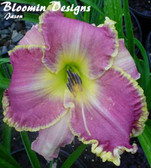 Hemerocallis CLOTHED IN GLORY
