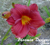 Hemerocallis CRANBERRY BABY