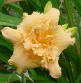 Daylily FORBIDDEN CITY