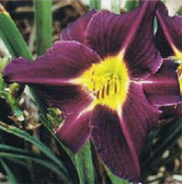 Daylily GRAPE VELVET