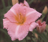 Daylily LITTLE HEAVENLY ANGEL