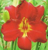 Daylily  LORD CAMDEN