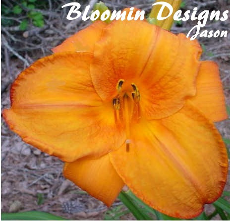 daylily mauna loa perennial plant sale bloomin designs nursery. Black Bedroom Furniture Sets. Home Design Ideas