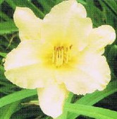 Daylily  MAY MAY