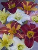 Daylilies Mixed Diploids