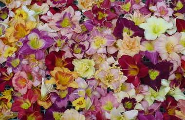 Daylilies Mixed Tetraploids