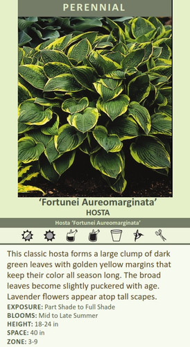 Fortunei Aureomarginata HOSTA Hosta Fortunei Aureomarginata This classic hosta forms a large clump of dark green leaves with golden yellow margins that keep their color all season long. The broad leaves become slightly puckered with age. Lavender flowers appear atop tall scapes. EXPOSURE: Part Shade to Full Shade BLOOMS: Mid to Late Summer HEIGHT: 18-24 in SPACE: 40 in ZONE: 3-9