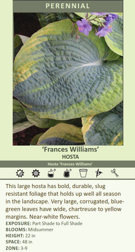 Frances Williams HOSTA Hosta Frances Williams This large hosta has bold, durable, slug resistant foliage that holds up well all season in the landscape. Very large, corrugated, bluegreen leaves have wide, chartreuse to yellow margins. Near-white flowers. EXPOSURE: Part Shade to Full Shade BLOOMS: Midsummer HEIGHT: 22 in SPACE: 48 in ZONE: 3-9