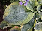 Hosta FRANCES WILLIAMS