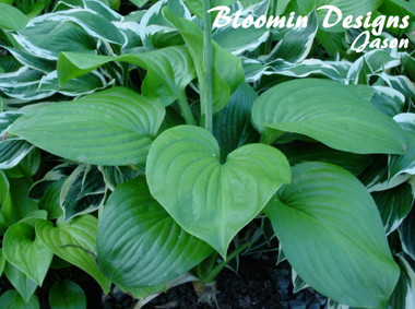 Hosta FRIED GREEN TOMATO
