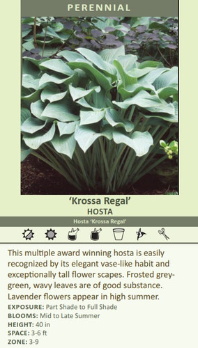 Krossa Regal HOSTA Hosta Krossa Regal This multiple award winning hosta is easily recognized by its elegant vase-like habit and exceptionally tall flower scapes. Frosted greygreen, wavy leaves are of good substance. Lavender flowers appear in high summer. EXPOSURE: Part Shade to Full Shade BLOOMS: Mid to Late Summer HEIGHT: 40 in SPACE: 3-6 ft ZONE: 3-9