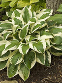 Hosta PATRIOT