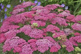 Achillea m. 'Saucy Seduction' PP20782 (25) Plants