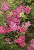 Achillea m. 'Saucy Seduction' PP20782