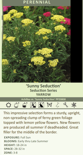 Sunny Seduction' Seduction Series YARROW Achillea m. 'Sunny Seduction' PP20808 This impressive selection forms a sturdy, upright, non-spreading clump of ferny green foliage topped with lemon yellow flowers. New flowers are produced all summer if deadheaded. Great filler for the middle of the border. EXPOSURE: Full Sun BLOOMS: Early thru Late Summer HEIGHT: 18-24 in SPACE: 28-32 in ZONE: 3-8