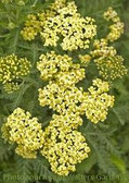 Achillea m. 'Sunny Seduction' PP20808