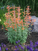 Agastache aurantiaca 'Apricot Sprite' Photo courtesy of Pat Acheff