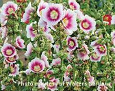 Alcea rosea Halo Series - Blush