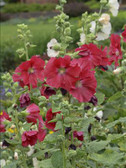 Alcea rosea 'Mars Magic'