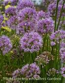 Allium 'Millenium' Forms a compact, upright clump of glossy green, thick and strappy leaves  Large 2 inch, bright rosy purple, tightly rounded clusters of flowers  Does not reseed Breeder: Mark McDonough Height: 15-20 inches Zones 5-8