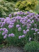 Allium s. 'Blue Eddy'