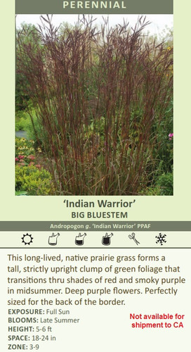 Indian Warrior' BIG BLUESTEM Andropogon g. 'Indian Warrior' PPAF This long-lived, native prairie forms a tall, strictly upright clump of green foliage that transitions thru shades of red and smoky purple in midsummer. Deep purple flowers. Perfectly sized for the back of the border. EXPOSURE: Full Sun BLOOMS: Late Summer HEIGHT: 5-6 ft SPACE: 18-24 in ZONE: 3-9