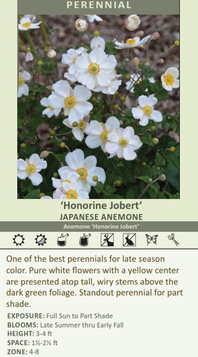 Honorine Jobert' JAPANESE Anemone Anemone 'Honorine Jobert' One of the best perennials for late season color. Pure white flowers with a yellow center are presented atop tall, wiry stems above the dark green foliage. Standout perennial for part shade.  EXPOSURE: Full Sun to Part Shade BLOOMS: Late summer thru Fall HEIGHT:3-4 ft SPACE:1 1/2- 2 1/2 ft ZONE: 4-8