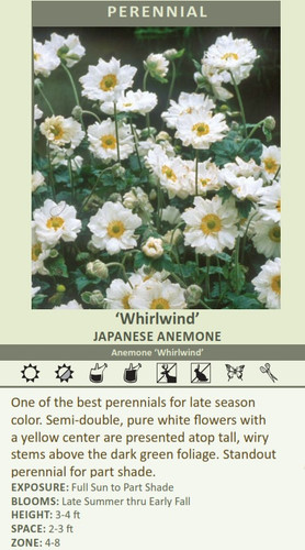 'Whirlwind' JAPANESE ANEMONE Anemone 'Whirlwind' One of the best perennials for late season color. Semi-double, pure white flowers with a yellow center are presented atop tall, wiry stems above the dark green foliage. Standout perennial for part shade.  EXPOSURE: Full Sun to Part Shade BLOOMS: Late Summer thru Early Fall HEIGHT:3-4 ft SPACE:2-3 ft ZONE: 4-8