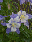 Aquilegia 'Blue Bird'