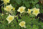 Aquilegia 'Goldfinch' (30)ct Flat