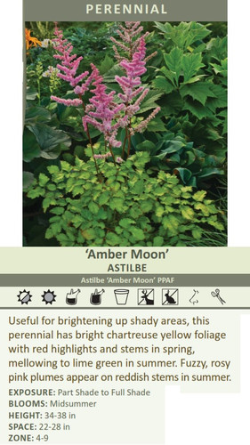 Useful for brightening up shady areas, this perennial has bright chartreuse yellow foliage with red highlights and stems in spring, mellowing to lime green in summer. Fuzzy, rosy pink plumes appear on reddish stems in summer. EXPOSURE: Part Shade to Full Shade BLOOMS: Midsummer HEIGHT: 34-38 in SPACE: 22-28 in ZONE: 4-9