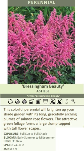 'Bressingham Beauty' ASTILBE Astilbe 'Bressingham Beauty' This colorful perennial will brighten up your shade garden with its long, gracefully arching plumes of salmon rose flowers. The attractive green foliage forms a large clump topped with tall flower scapes. EXPOSURE: Full Sun to Full Shade BLOOMS: Early Summer to Midsummer HEIGHT: 36 in SPACE: 24-30 in ZONE: 4-9