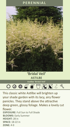 'Bridal Veil' ASTILBE Astilbe 'Bridal Veil' This classic white Astilbe will brighten up your shade garden with its lacy, airy flower panicles. They stand above the attractive deep green, glossy foliage. Makes a lovely cut flower. EXPOSURE: Full Sun to Full Shade BLOOMS: Early Summer HEIGHT: 28 in SPACE: 18-22 in ZONE: 4-9