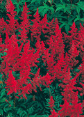 Astilbe chinensis 'Vision in Red' PP133.7265