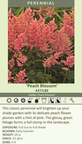 'Peach Blossom' ASTILBE Astilbe 'Peach Blossom' This classic perennial will brighten up your shade garden with its delicate peach flower plumes with a hint of pink. The glossy, green foliage forms a full clump in the landscape.  EXPOSURE: Full Sun to Full Shade BLOOMS: Early Summer HEIGHT: 24 in SPACE: 15-18 in ZONE: 4-9