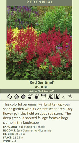 'Red Sentinel' ASTILBE Astilbe 'Red Sentinel' This colorful perennial will brighten up your shade garden with its vibrant scarlet red, lacy flower panicles held on deep red stems. The deep green, dissected foliage forms a large clump in the landscape.  EXPOSURE: Full Sun to Full Shade BLOOMS: Early Summer to Midsummer HEIGHT: 20-24 in SPACE: 12-18 in ZONE: 4-9