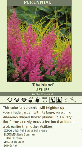 'Rheinland' ASTILBE Astilbe 'Rheinland' This colorful perennial will brighten up your shade garden with its large, rose pink, diamond-shaped flower plumes. It is a very floriferous and vigorous selection that blooms a bit earlier than other Astilbes. EXPOSURE: Full Sun to Full Shade BLOOMS: Early Summer HEIGHT: 24 in SPACE: 16-20 in ZONE: 4-9