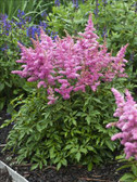 Astilbe Younique Lilac ('Verslilac' PP19847)