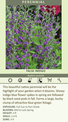 FALSE INDIGO Baptisia australis This beautiful native perennial will be the highlight of your garden when it blooms. Showy indigo blue flower spikes in spring are followed by black seed pods in fall. Forms a large, bushy clump of attractive blue-green foliage. EXPOSURE: Full Sun to Part Shade BLOOMS: Mid to Late Spring HEIGHT: 4 ft SPACE: 3-4 ft ZONE: 3-9