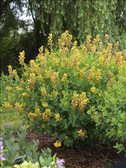 DECADENCE Series Baptisia 'Cherries Jubilee'