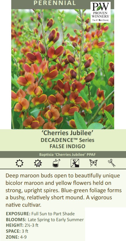 BAPTISIA DECADENCE 'CHERRIES JUBILEE'