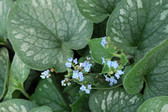 Brunnera macrophylla 'Emerald Mist' PP20460 Photo(s) courtesy of Terra Nova Nurseries, Inc.