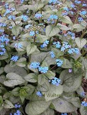 Brunnera m. 'Looking Glass' PP17829