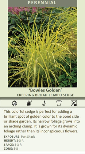 Bowles Golden This colorful sedge is perfect for adding a brilliant spot of golden color to the pond side or shade garden. Its narrow foliage grows into an arching clump. It is grown for its dynamic  EXPOSURE: Part Shade ZONE: 5-8