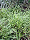 Carex morrowii 'Ice Dances'