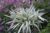 Carex s. 'Snow Cap' (20)ct Flat